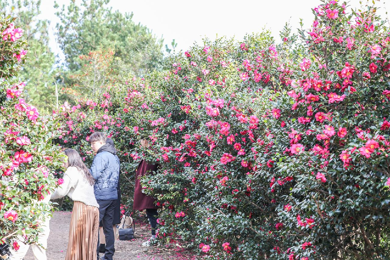 A Splash of Color on a Winter Day: Where to See Camellias on Jeju