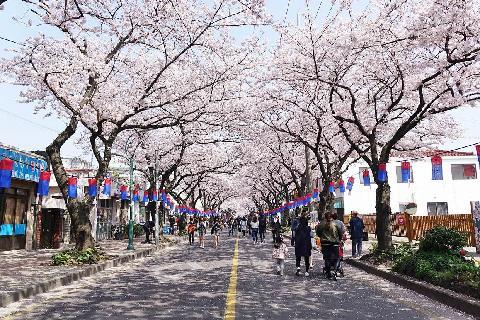 제주왕벚꽃축제 대표이미지