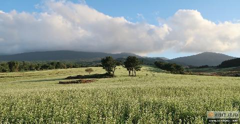 Ora-dong green barley - buckwheat field 대표이미지