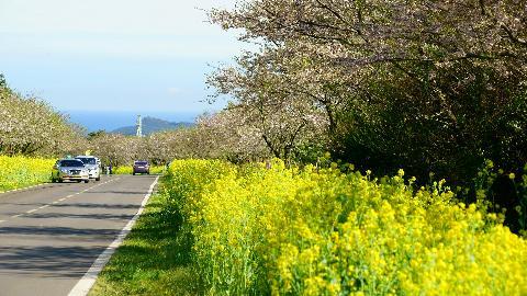 4월이면 표선면 녹산로 주변으로 유채가 가득하다.<br>보통 벚꽃이 유채보다 몇일더 개화하지만 타이밍을 잘 맞추면 벚꽃과 유채가 함께 흐드러지게 핀모습을 볼 수 도 있다.<br>#녹산로유채꽃길 #녹산로 #유채꽃길 #유채꽃 #벚꽃길