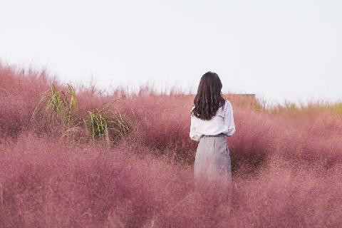 Pink Muhly Festival (Jeju Herb Dongsan) 대표이미지