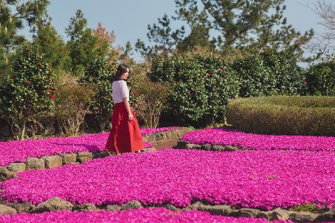 Jeju Herb Garden Moss Phlox Festival 대표이미지