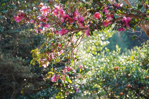 Sinheung-ri Camellia & Juniper Road 대표이미지